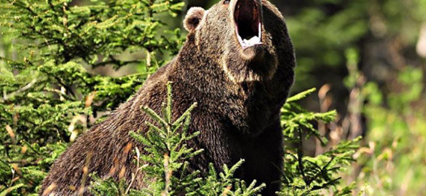 Медведь напал на россиянку, но получил от ее приятеля удар ножом в глаз