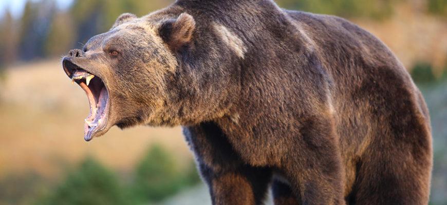 Туристу в Канаде удалось отбиться от медведя гризли