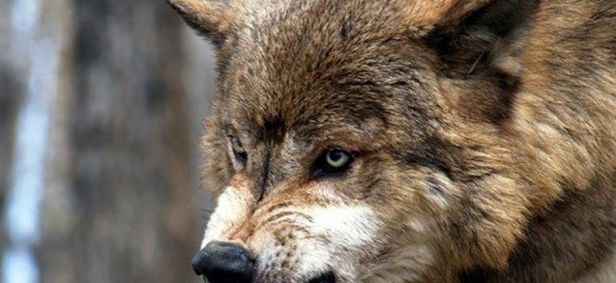 В Канаде волк напал на спящую в палатке семью туристов