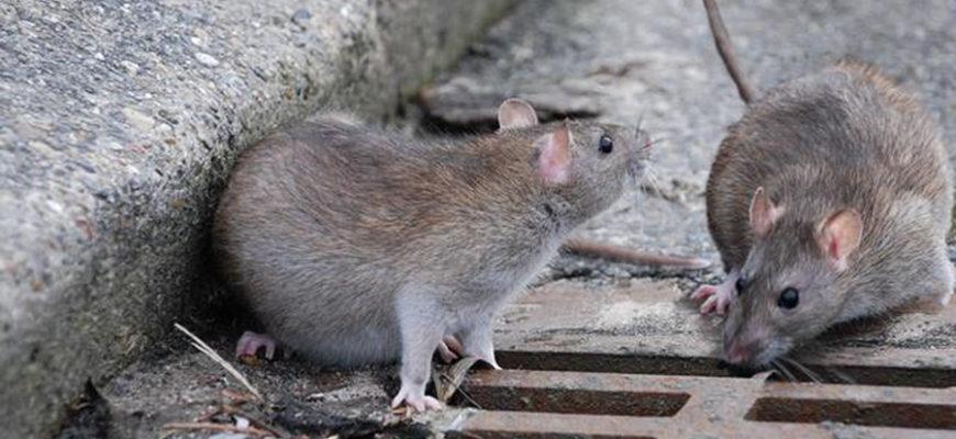 Крупные города США подверглись невиданному нашествию крыс