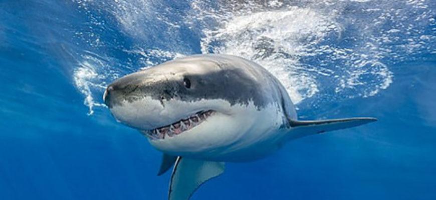 В США за сутки три человека подверглись нападению акул