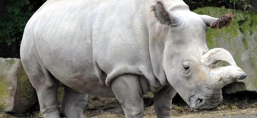 На любителей сафари в ЮАР напал агрессивный носорог