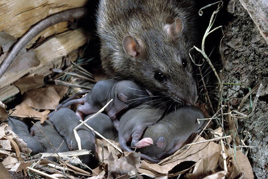 В России пенсионерка развела в своей квартире сотни крыс