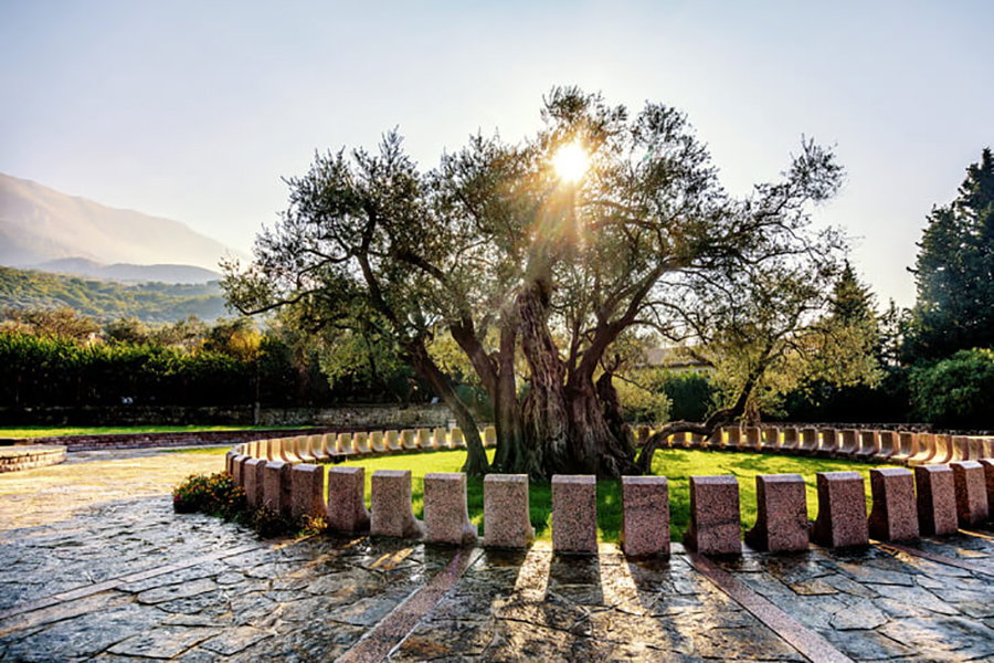 Экспертиза подтвердила, что знаменитой черногорской Старой Оливе уже более 2200 лет