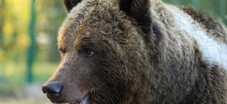Медведь ДТП
