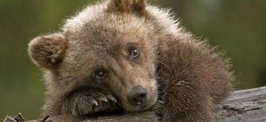 В США пожилая пара прогнала медведей кулаками и битой