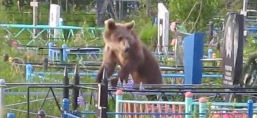 Медведь украл покойного с кладбища и утащил с собой