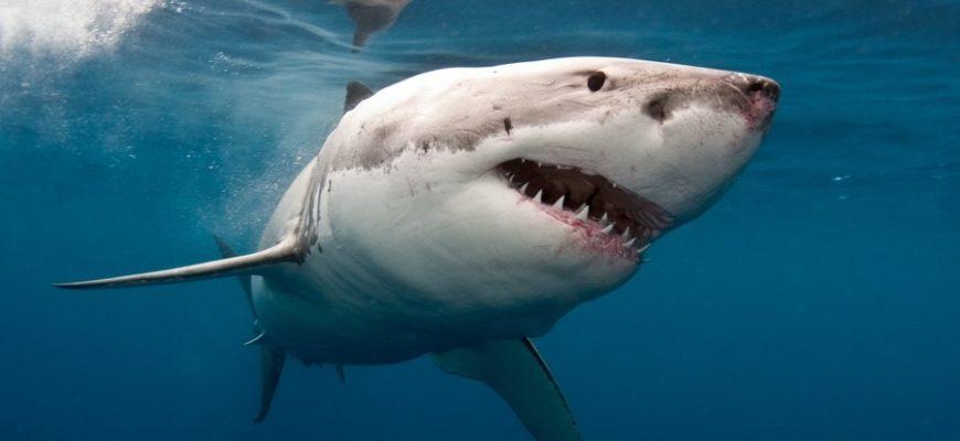 Дайвер шокировал интернет, заставив акулу войти в транс