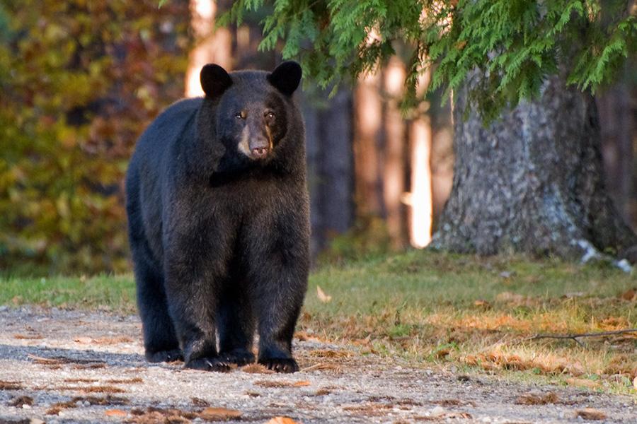В США медведь напал на совершавшую пробежку девушку