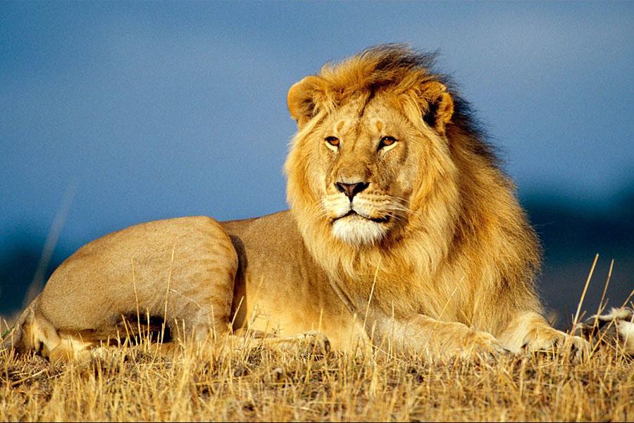В ЮАР голодные львы достали добычу из-под земли