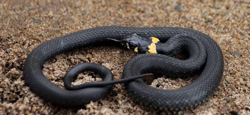Пьяный мужчина укусил змею и она погибла