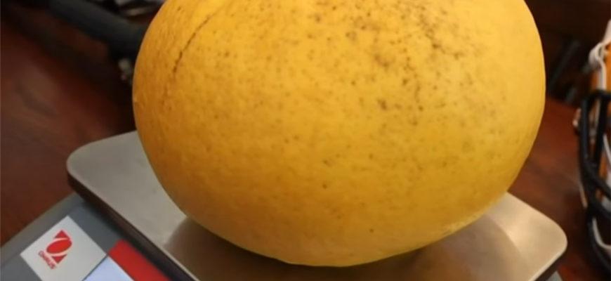 В США вырастили грейпфрут рекордных размеров