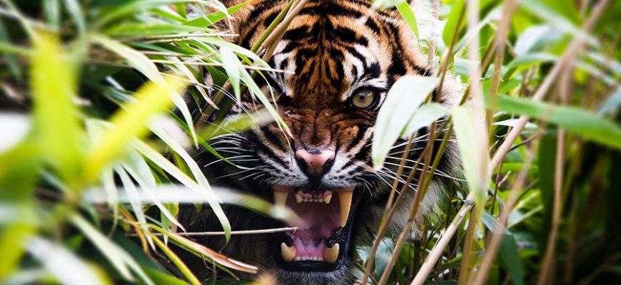 В Пакистане тигр пробрался в деревню и покалечил четырех человек