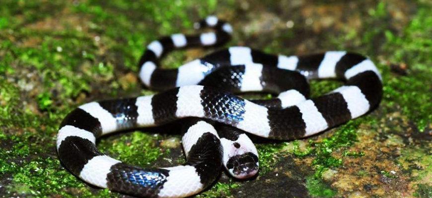 В Индонезии охранник играл со змеей и умер