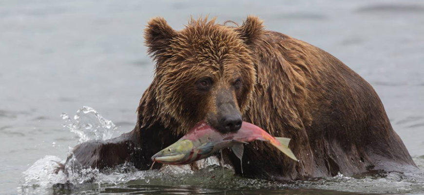 На Камчатке голодные медведи заблокировали популярный туристический маршрут