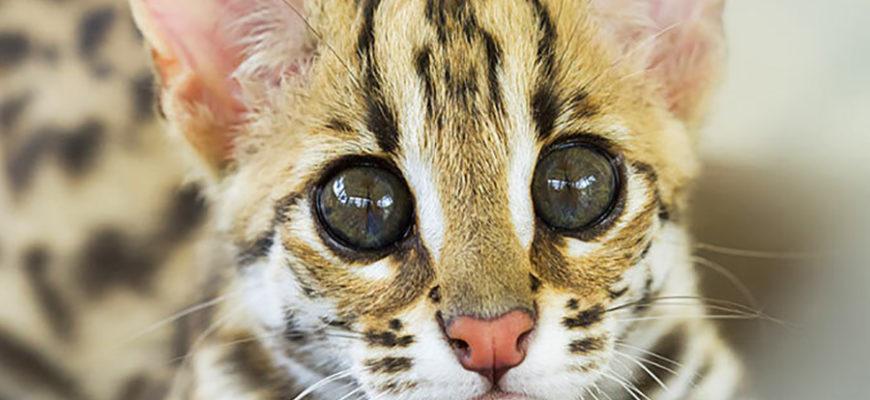 Россиянин контрабандой привез из Узбекистана редких леопардовых котят
