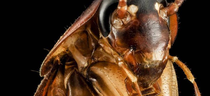 В Сочи появились огромные американские летающие тараканы
