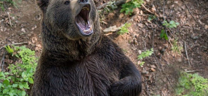 Медведь пробрался в дом, чтобы съесть мороженное