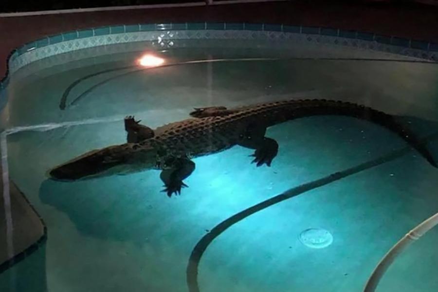 Во Флориде аллигатор разместился в бассейне частного дома