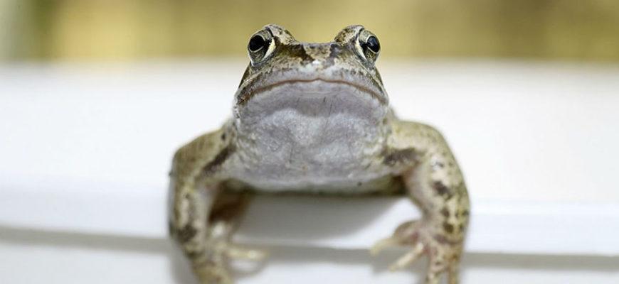 В Чили отловили 14 редких лягушек лоа, чтобы спасти вид от вымирания