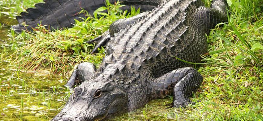 В США аллигатор съел 45-килограммовую собаку на глазах хозяйки