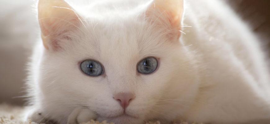 """Россиянин захотел продать кошку """"от похмелья"""" за 15 миллионов рублей"""