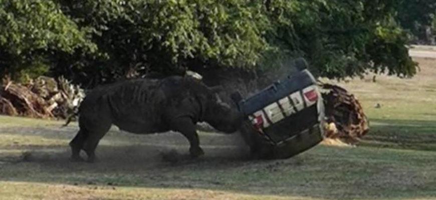 В Германии носорог атаковал автомобиль со смотрительницей парка Агрессивный носорог по кличке Кузини, которому крайне не приглянулся автомобиль сотрудницы природного парка Серенгети в нижнесаксонском Ходенхагене, напал на него и даже несколько раз перевернул. Женщина, являющаяся смотрительницей за животными, должна была загнать носорога в стойло, поэтому на маленькой скорости потихоньку приближалась к этому редкому грозному животному. Тому действия смотрительницы не понравились и он атаковал его. Трижды перевернув многострадальную машину, он и дальше продолжи «рвать и метать», пока не успокоился или же, может ему это просто надоело. Другие сотрудники парка прибыли на помощь своей коллеги и помогли ей выбраться из автомобиля и этого злополучного места. К удивлению, после такого нападения, женщина отделалась лишь сотрясением головного мозга, синяками и царапинами, ничего более серьезного она не получила. Отметим, что разбушевавшемуся носорогу сейчас 30 лет и в этом парке он находится всего лишь полтора года. Возможно поэтому полностью привыкнуть к окружающей обстановке он еще не успел, поэтому решил, что лучше будет атаковать неизвестный ему предмет.