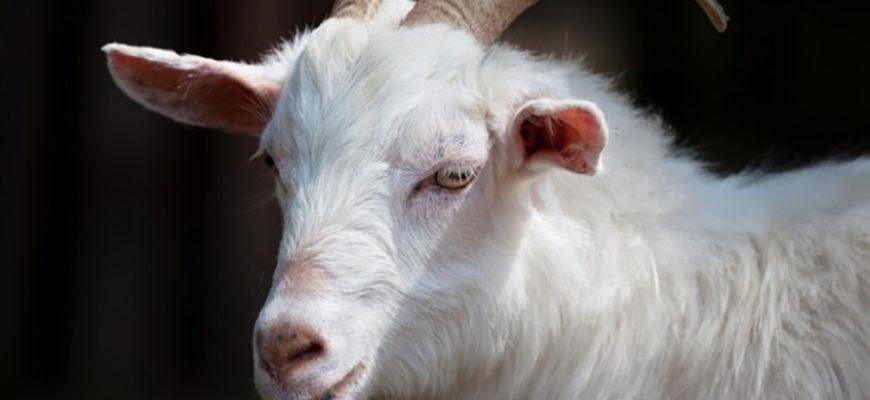 Обескровленные мёртвые козы взбудоражили общественность