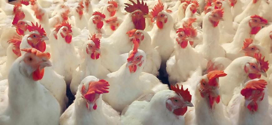 В результате ДТП в Китае погибли три тысячи кур