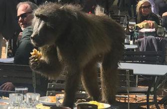 В ЮАР бабуин пришел пообедать в ресторане