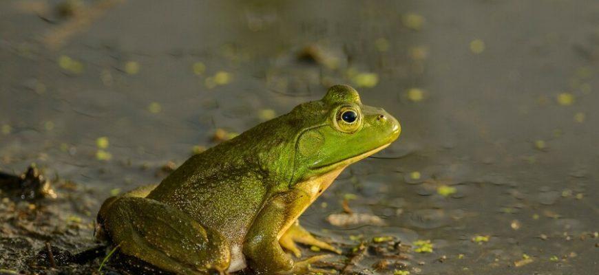 В Индии поженили и развели лягушек, чтобы управлять дождем