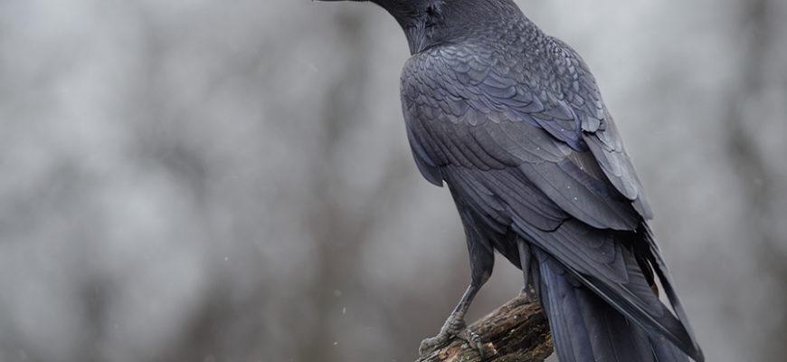 Злопамятные вороны три года мстят жителю Индии за мертвого птенца
