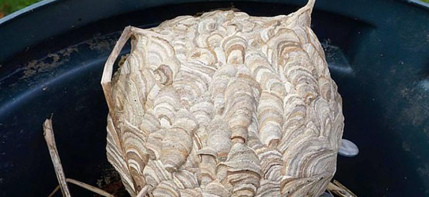 Британка обнаружила в бочке гнездо гигантского шершня