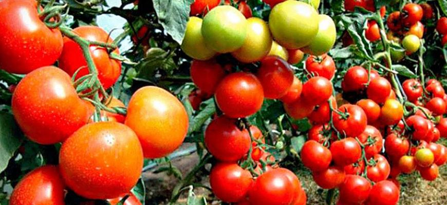 Употребление томатов признали вредным для здоровья