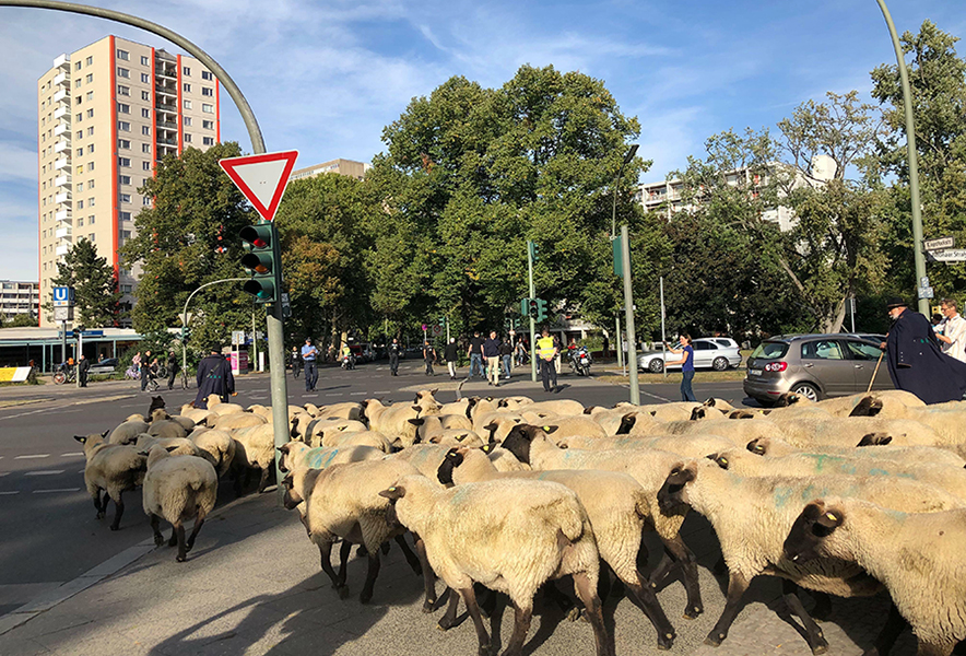 Более 200 овец вышли на митинг в Берлине