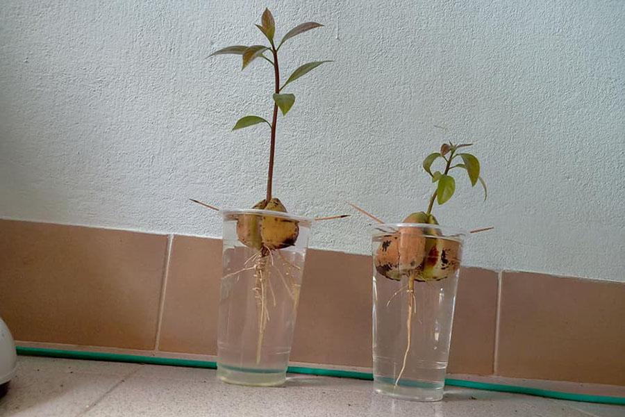 Женщина выращивает авокадо и этим прославилась в соцсетях