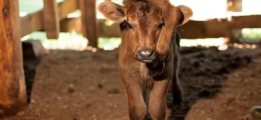 В США сердобольные фермеры купили теленка с пятью ногами