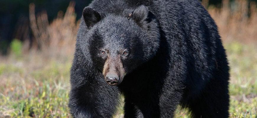 Медведь, считающийся самым безвредным, растерзал в Канаде женщину
