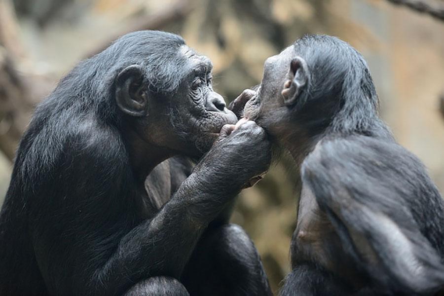 Ученые объяснили, почему самки бонобо практикуют однополые связи