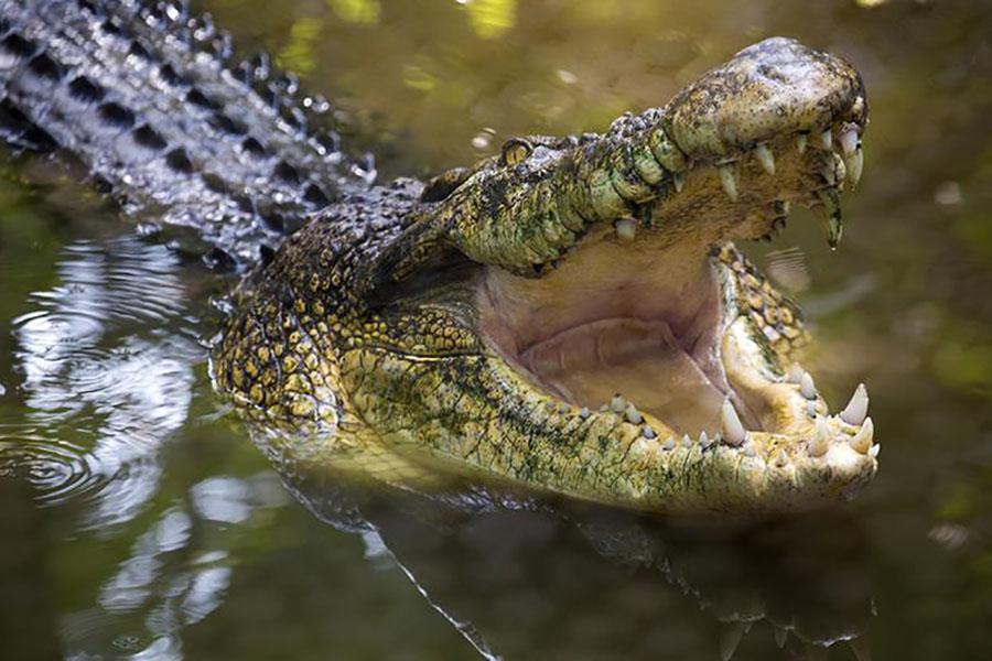Гигантский крокодил заживо съел рыбачащего подростка
