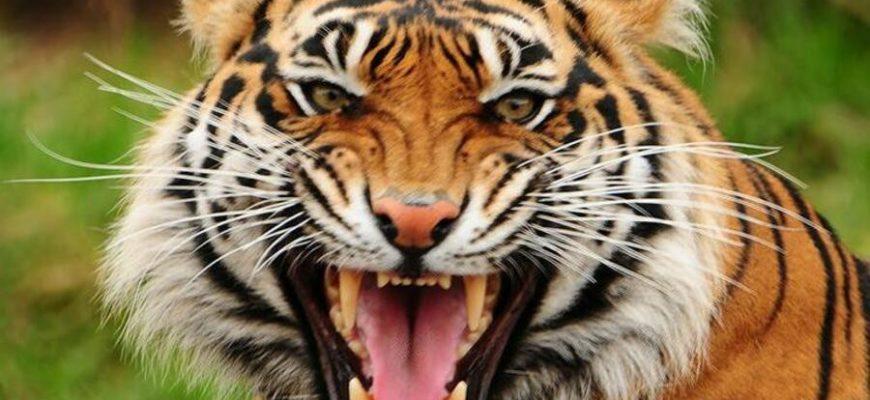 В Китае тигр сбежал из цирка и умер на свободе через сутки