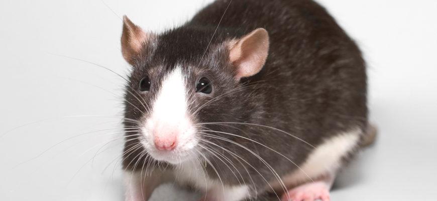 В Нью-Йорке устроили борьбу с крысами с помощью алкоголя