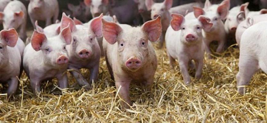 Сбежавших свиней искали по следам от съеденных ими хот-догов