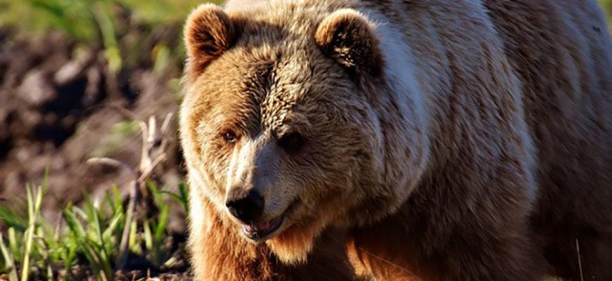 Участились случаи нападения медведей на людей
