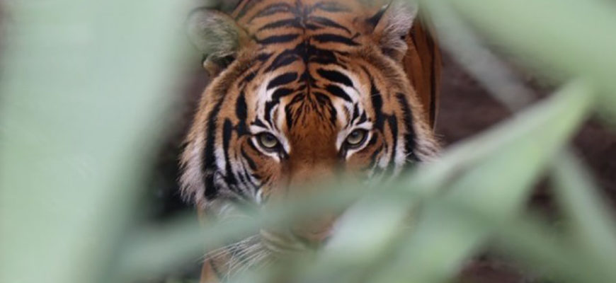 В Индии тигр растерзал мужчину и съел его конечности