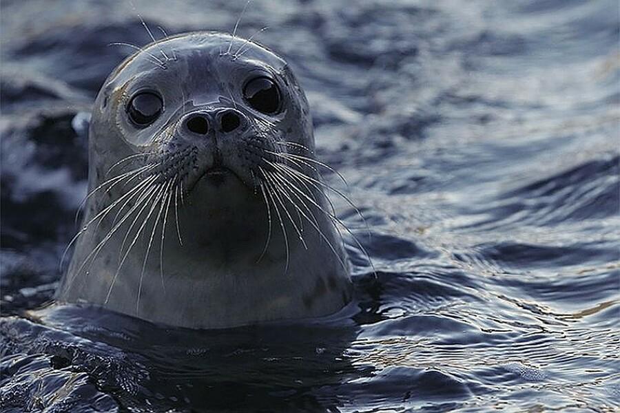 В Австралии тюлень помог полиции задержать наркоторговцев