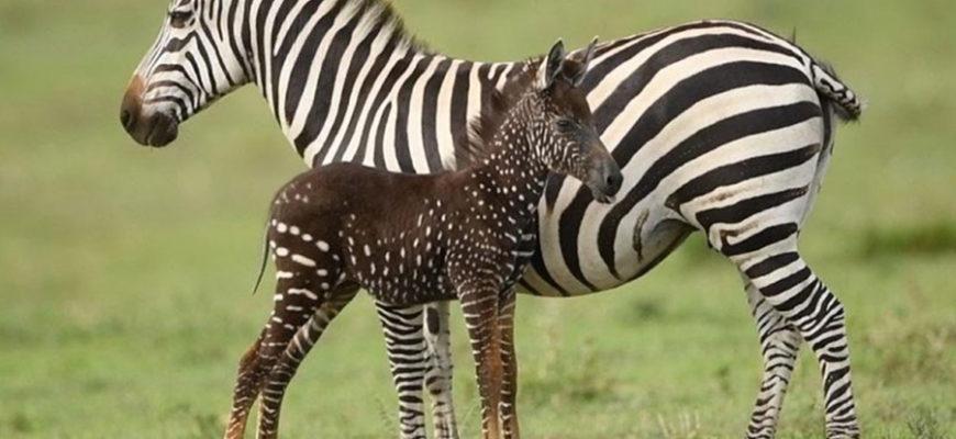 В кенийском заповеднике родилась зебра с окрасом «в горошек»