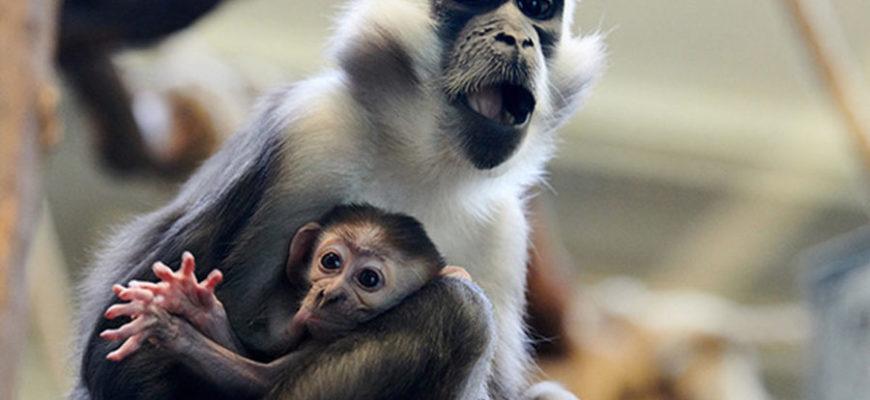 В Китае создали первый в мире химерный эмбрион обезьяны и человека