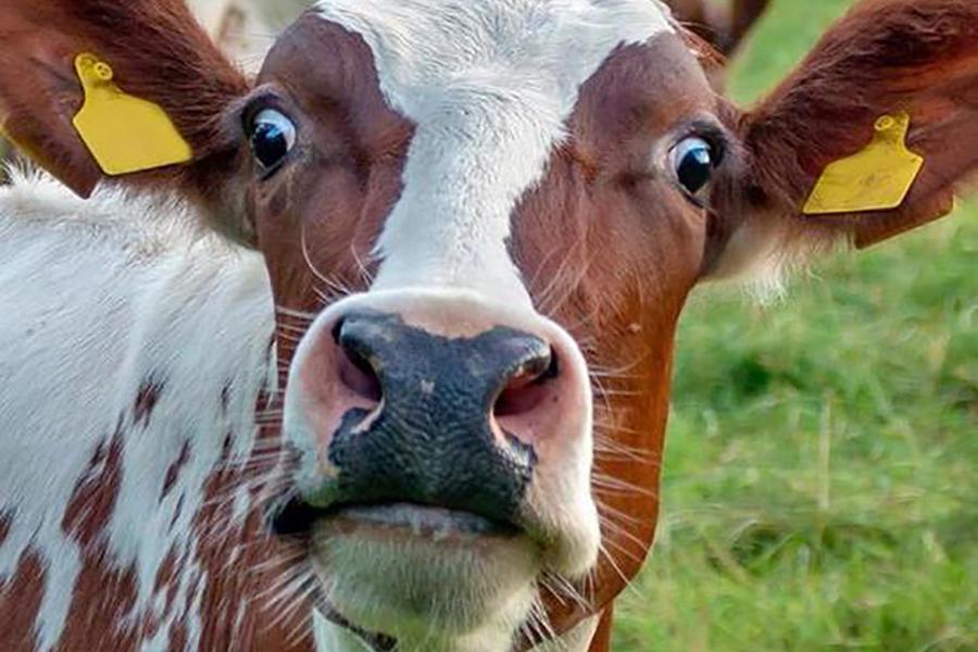 На английской ферме коров «подключили» к сети 5G