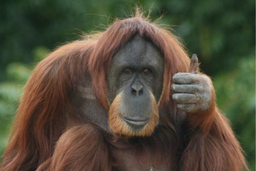 Орангутан с правами человека получит новую жизнь в заповеднике спустя 20 лет